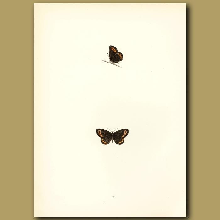Antique print. Small Ringlet Butterflies