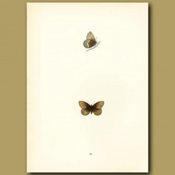 Silver-Bordered Ringlet Butterflies