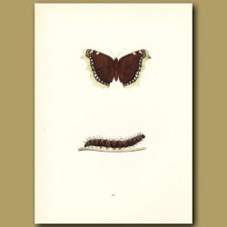 Camberwell Beauty Butterflies