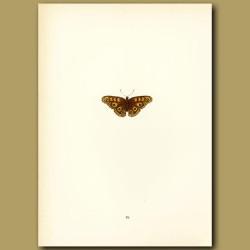 Albin's Hampstead Eye Butterflies
