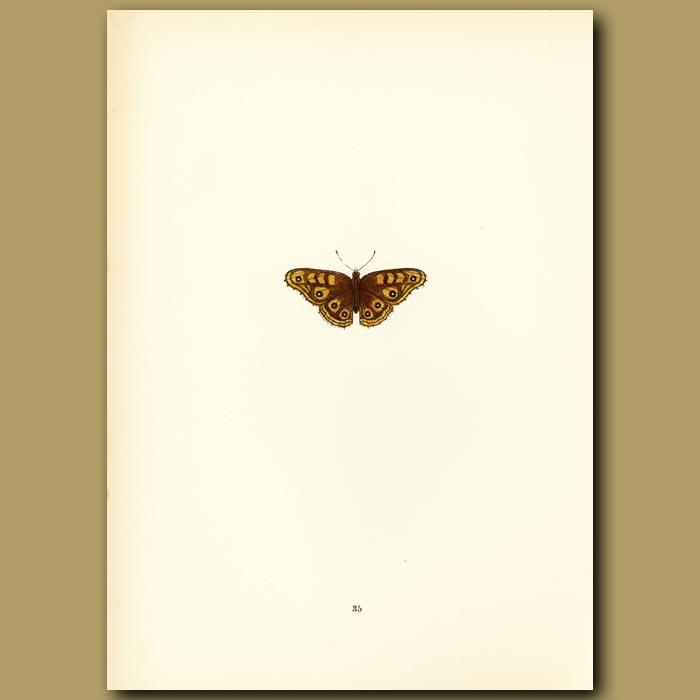 Antique print. Albin's Hampstead Eye Butterflies