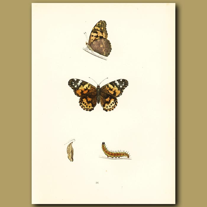 Antique print. Painted Lady Butterfly