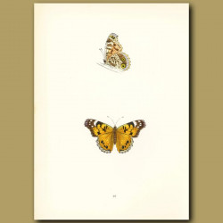 Scarce Painted Lady Butterflies