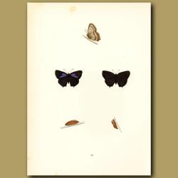 Purple Hairstreak Butterflies