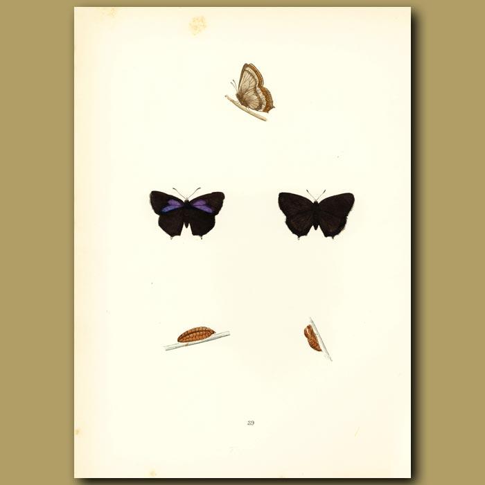 Antique print. Purple Hairstreak Butterflies