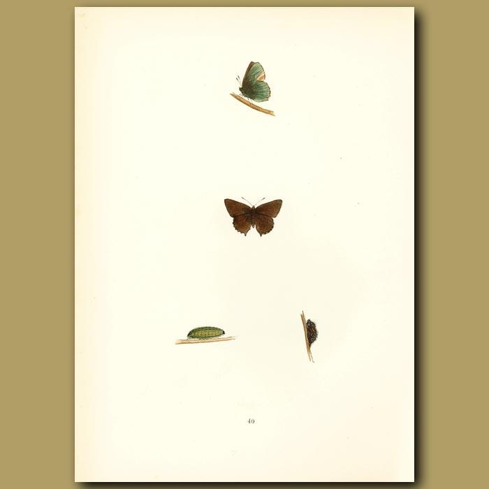 Antique print. Green Hairstreak Butterflies