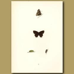 White Hairstreak Butterflies