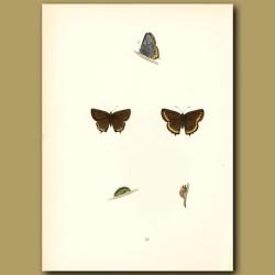 Black Hairstreak Butterflies