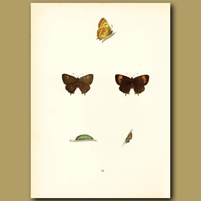 Antique print. Brown Hairstreak Butterflies