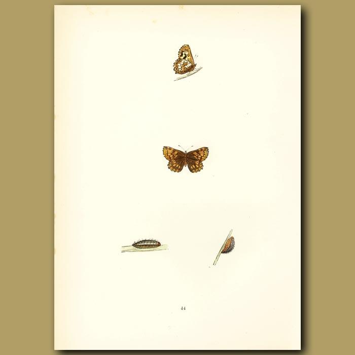 Antique print. Duke Of Burgundy Fritillary Butterflies