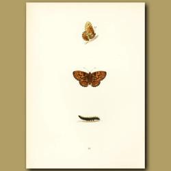 Pearl-Bordered Fritillary Butterflies
