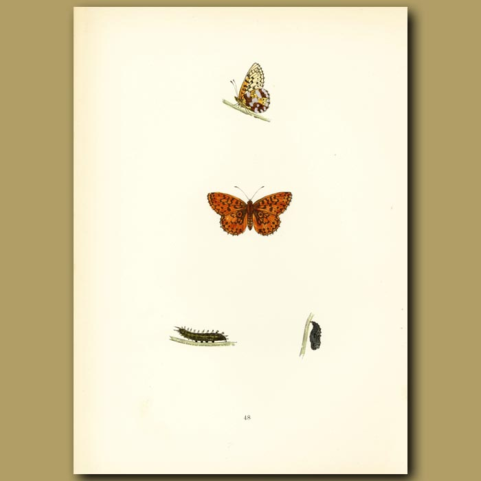 Antique print. Small Pearl-Bordered Fritillary Butterflies