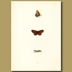 Weaver's Fritillary Butterflies