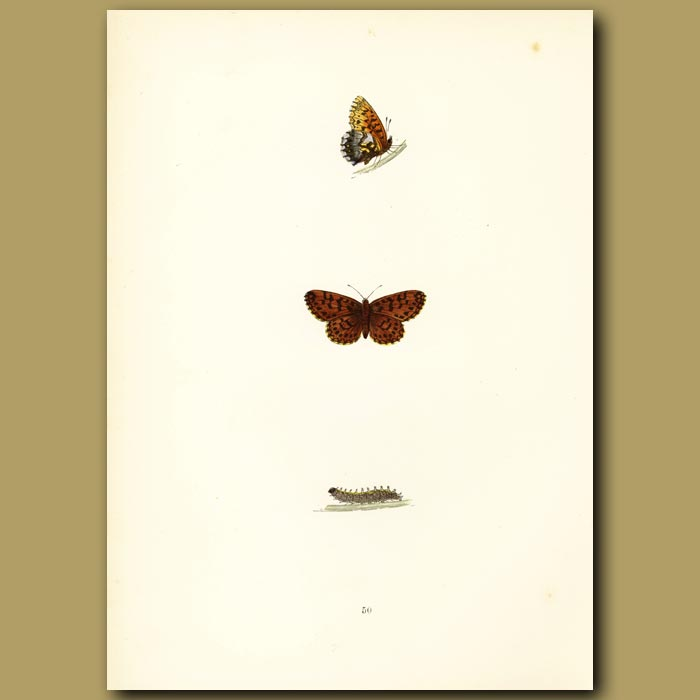 Antique print. Weaver's Fritillary Butterflies