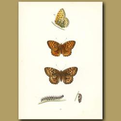 Dark Green And Orange Fritillary Butterflies