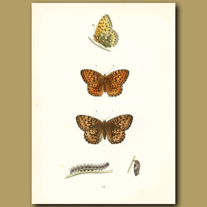 Antique print. Dark Green And Orange Fritillary Butterflies