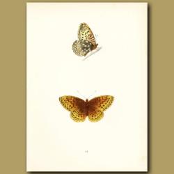 Venus Fritillary Butterfly