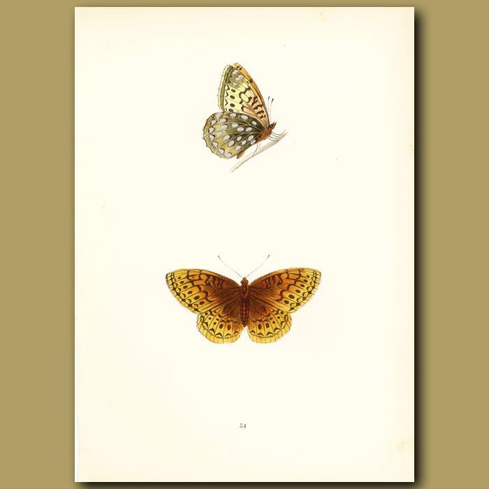 Antique print. Venus Fritillary Butterfly