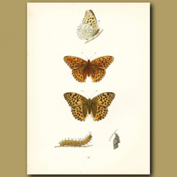 Silver Washed Fritillary Butterflies