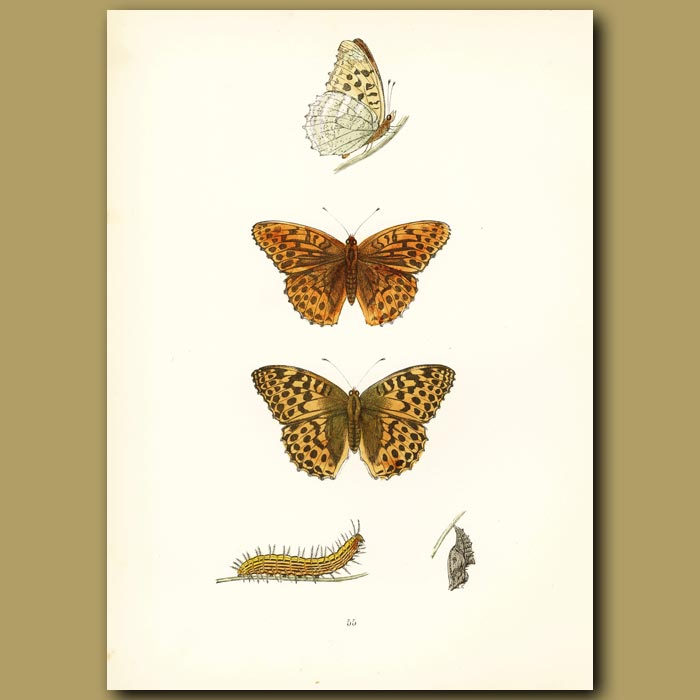 Antique print. Silver Washed Fritillary Butterflies