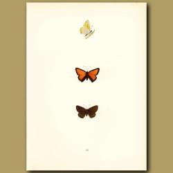 Purple-Edged Copper Butterflies
