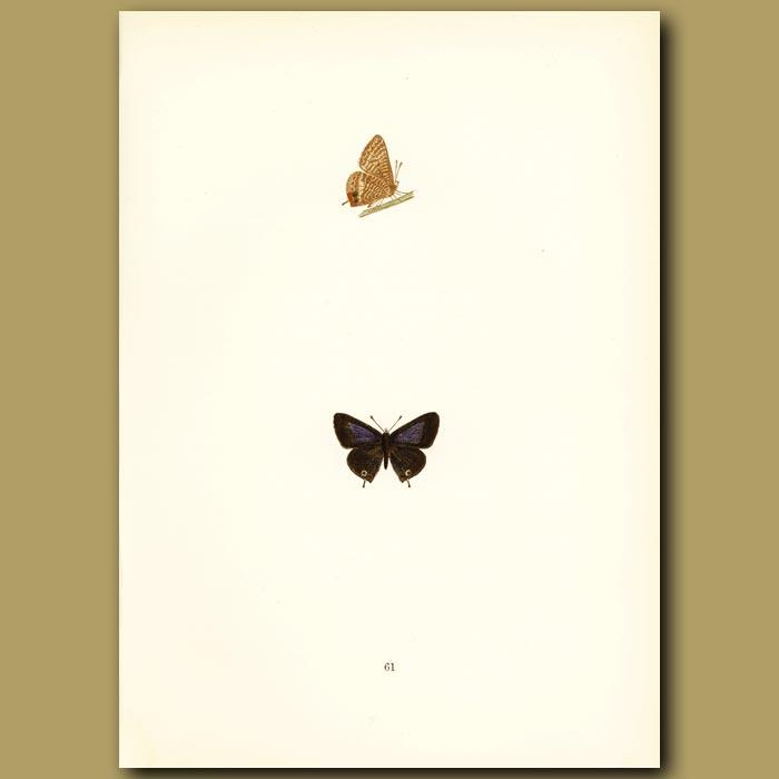 Antique print. Brighton Argus Butterflies