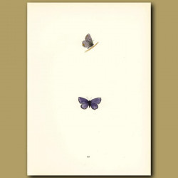 Small-Tailed Blue Butterflies