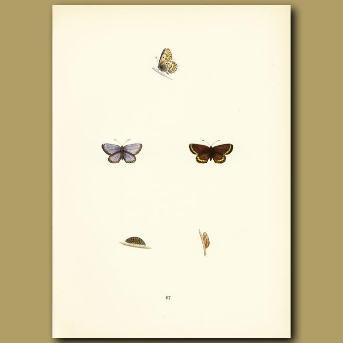 Antique print. Silver-Studded Blue Butterflies