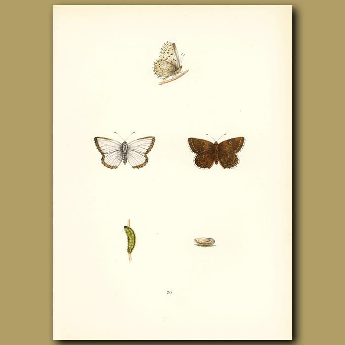 Antique print. Chalk Hill Blue Butterflies