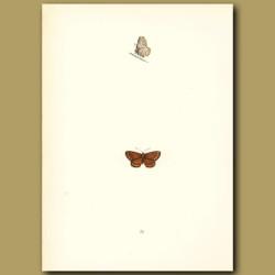 Brown Argus Blue Butterflies