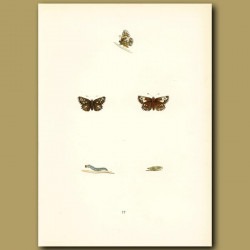 Grizzled Skipper Butterflies