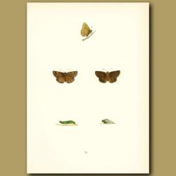 Dingy Skipper Butterflies