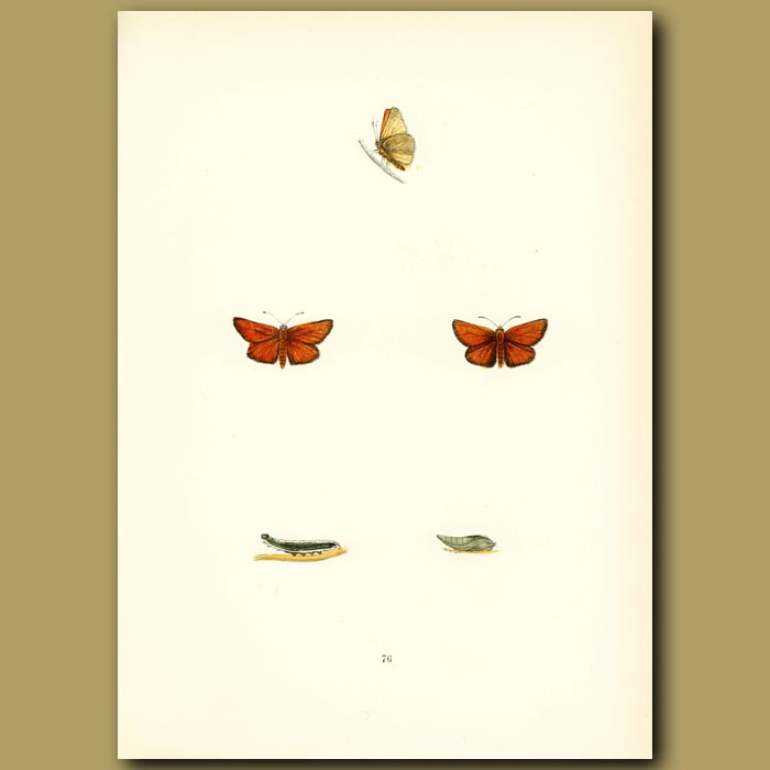 Antique print. Small Skipper Butterflies