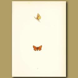 Scarce Small Skipper Butterflies