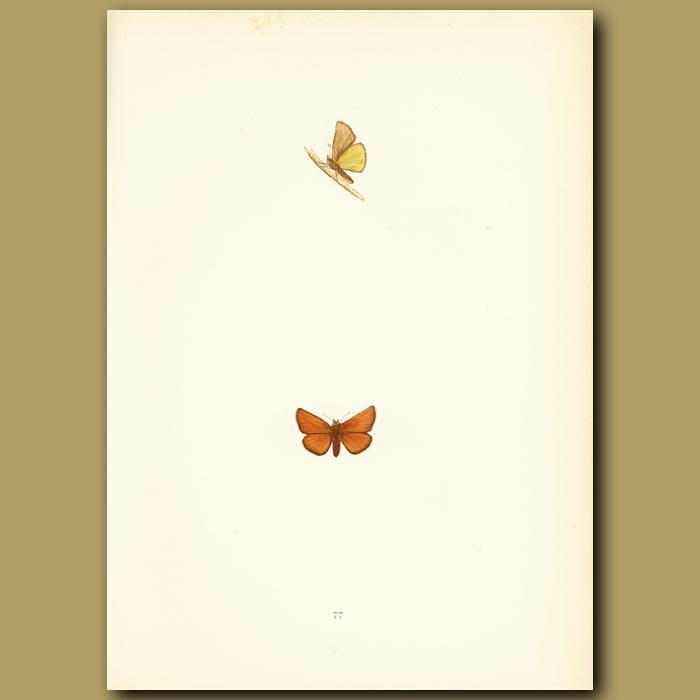 Antique print. Scarce Small Skipper Butterflies