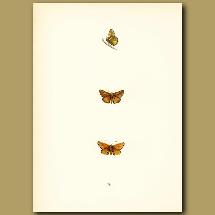 Antique print. Lulworth Skipper Butterflies