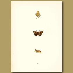 Spotted Skipper Butterflies