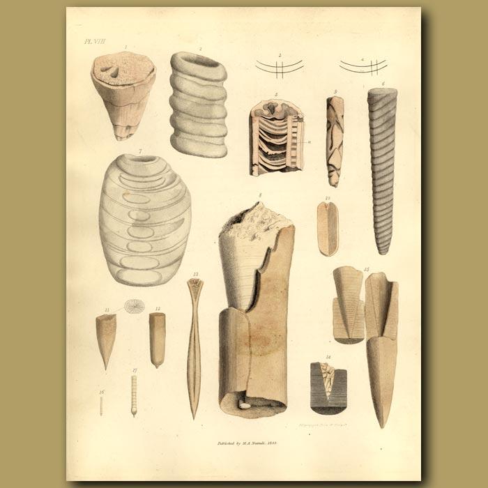 Antique print. Fossil Belemnites And Hippurites