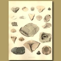 Fossil Shark Teeth,Shells, Urchin And Beak