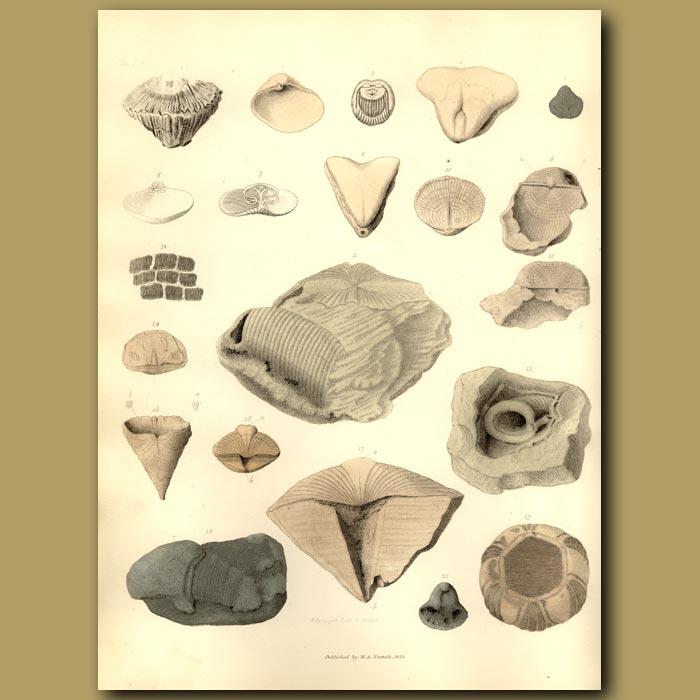 Antique print. Fossil Shark Teeth,Shells, Urchin And Beak