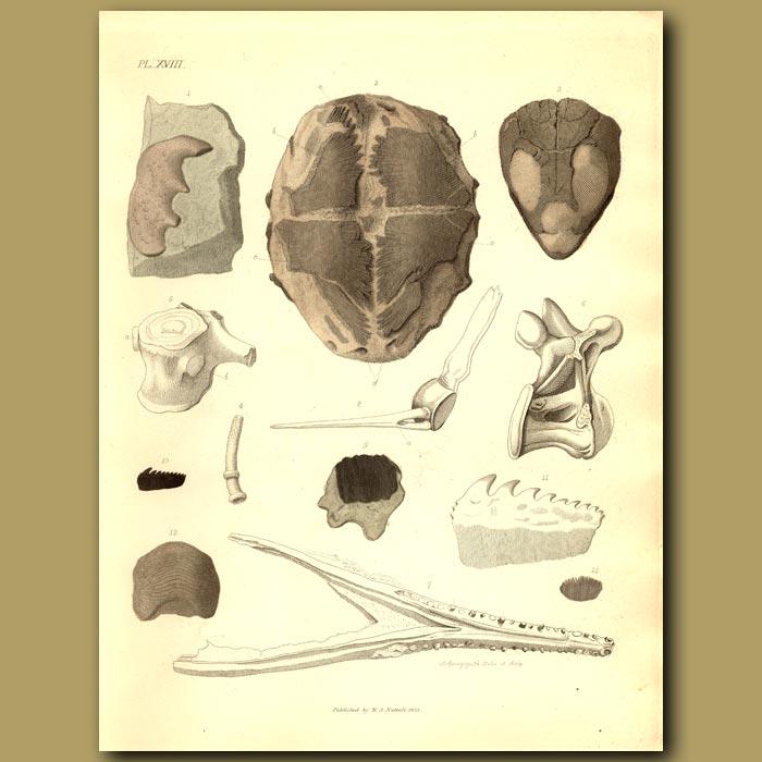 Antique print. Fossil Tortoise, Crocodile And Fish