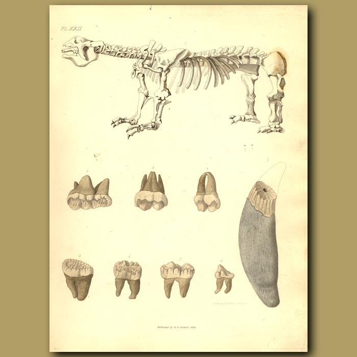 Antique print. Skeleton Of Megatherium, Fossil Bear Jaws
