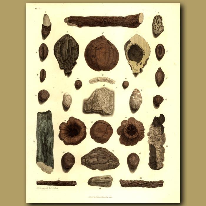 Antique print. Fossilised (petrified) Wood