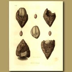 Fossilised Nuts, Acorn And Seeds