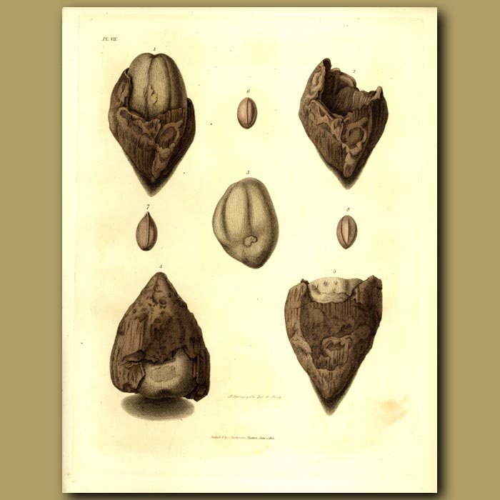 Antique print. Fossilised Nuts, Acorn And Seeds