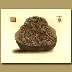 Fossil Coral: Tubiporite Embedded In Limestone