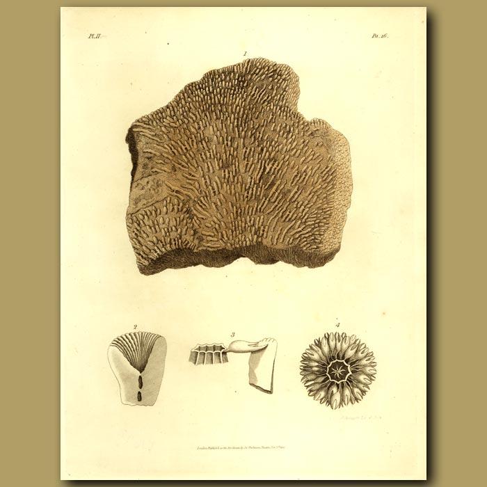 Antique print. Fossil Coral: Tubipora Strues