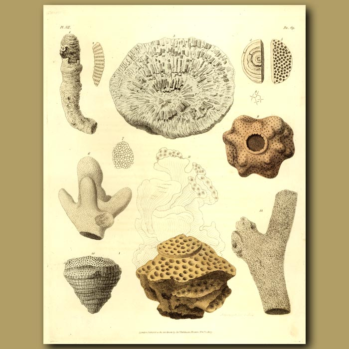 Antique print. Fossil Sea Sponge and Coral: Alcyonite And Madreporite