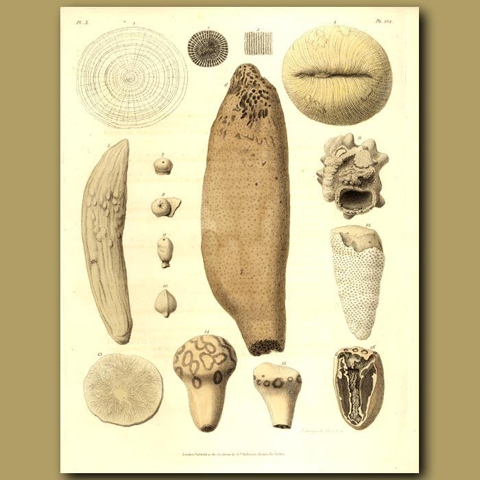 Antique print. Fossil Sea Sponge: Alcyonite