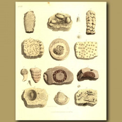 Fossil Sea Sponge: Alcyonite